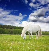 Witte paard op de weide — Stockfoto