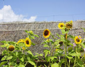 Sunflowers in the background of thatched — Stockfoto
