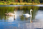 Swan and young — Stock Photo