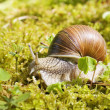 Snail in the moss — Stock Photo