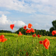 Poppies on the field — Stock Photo #1343627
