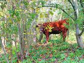秋の森の赤い牛 — ストック写真