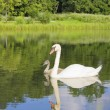 Swan and young — Stockfoto