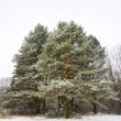 Pine winter — Stock Photo