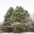 Pine winter - Stock Photo