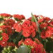 Kalanchoe, isolated - Stock Photo