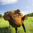 Stock Photo: Cow eats grass