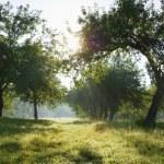 Dawn in the apple garden — Stock Photo #1516097