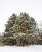 Borovice zima — Stock fotografie