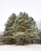 Pine winter — Stock fotografie