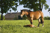 Horse with a foal in a meadow — Stock Photo