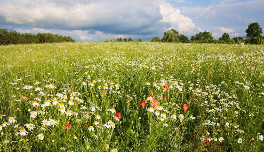 Фото летнее поле с цветами