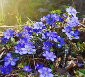 Early spring blue flowers — Stock Photo