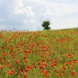 Field of red poppies — Stock Photo #1988266