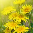 Stock Photo: Dandelions macro