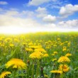 Dandelion field — Stock Photo #2156986
