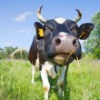 Black cow in the meadow — Stock Photo