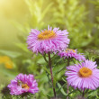 Asters in the garden - Stock Photo