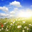 Stock Photo: Field of flowers, summer landscape