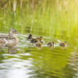 Duck with Ducklings in the lake — Stock Photo #2157186