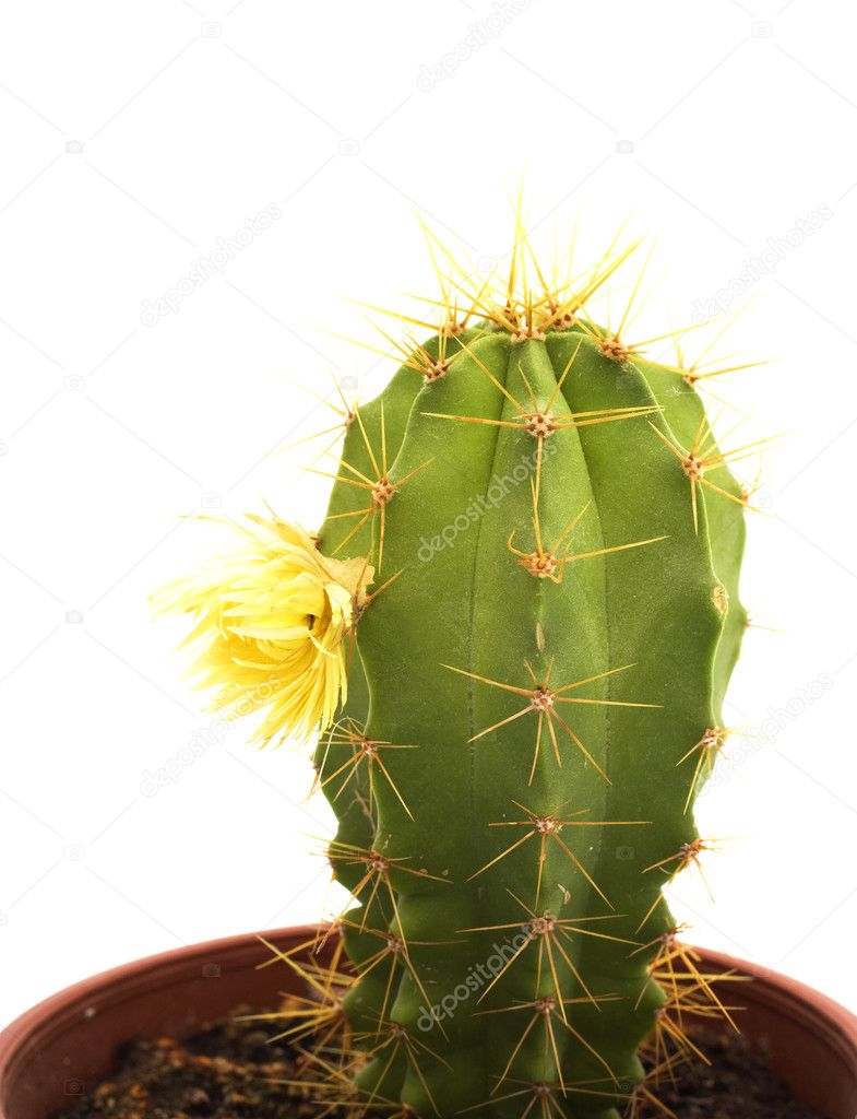 Cactus with flowers, isolated on white — Stock Photo #2156908