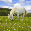 White horse on the meadow — Stock Photo #2257261