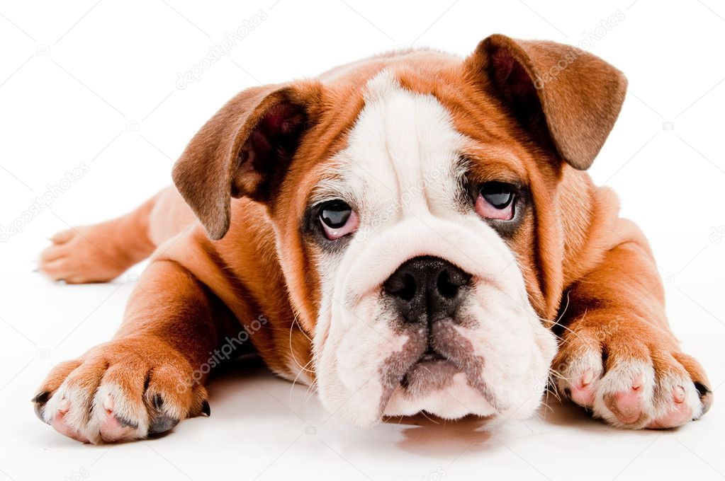 English Bulldog puppy on isolated background — Stock Photo #1076014