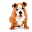 English Bulldog puppy — Stock Photo #1146895