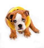 Filhote de cachorro — Foto Stock