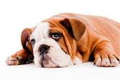 Cachorro fofo — Foto Stock