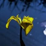 Iris. — Stock Photo #1229980