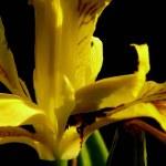 Iris. — Stock Photo #1230003