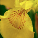 Iris. — Stock Photo #1230013