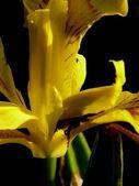 Iris. — Stok fotoğraf