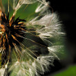 Dandelion. Blowball. — Stock Photo #1303146