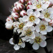 Spiraea. — Stock Photo