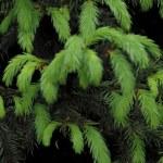 Fur-tree. — Stock Photo #1321839