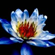 Stock Photo: Art. Blue waterlily.
