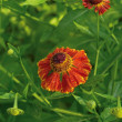 Helenium . — Stock Photo