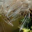 Dandelion. Web. — Stock Photo