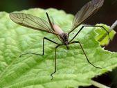 Mosquito. — Stock Photo