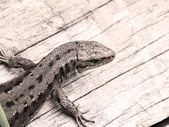 Lizard. — Stock Photo