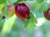 Gooseberry. — Stock Photo
