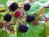 Dewberry. frutti di bosco. — Foto Stock