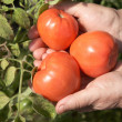 Stock Photo: Old womholds red tomatoes