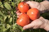 古い女性は、赤いトマトを保持します。 — ストック写真