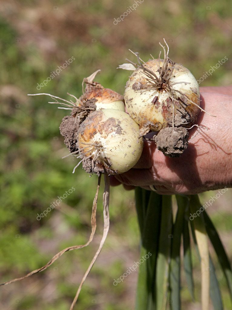 Tubers  onions in hands of the old woman — Stock Photo #1226454
