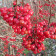 Frostbitten viburnum berries — Stock Photo
