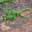Stock Photo: Ivy on brick wall