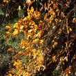 Stock Photo: Golden fall leaves
